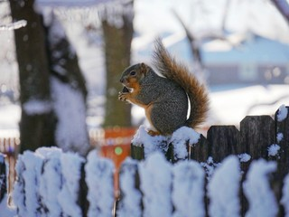A squirrel sits on a snow-covered wooden fence on a winter morning