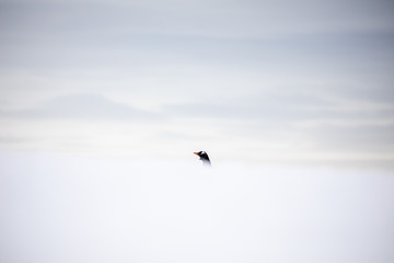 Foto op Canvas Pinguin Gentoo penguin in snow, Antarctica