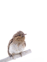 portrait Eurasian wryneck (Jynx torquilla) isolated on a white background