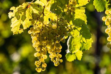 Papiers peints Vignoble Prosecco white grapes on a vineyard befor harvesting in Valdobbiadene hills. Veneto. Italy