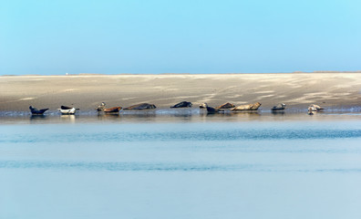 Seal colony in the bay of Somme