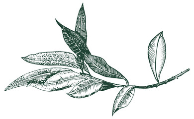 Vector olive branch drawing, engraving style, isolated on a white background, a hand drawn sketch