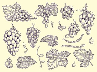 Grapes set. Vineyard collection wine grapes and leaves vector engraving graphic pictures for restaurant menu. Illustration grape wine, fresh taste grapevine