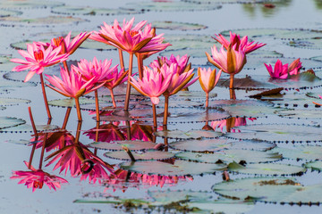 Tuinposter Waterlelies Pond with water lilies in Sundarbans, Bangladesh
