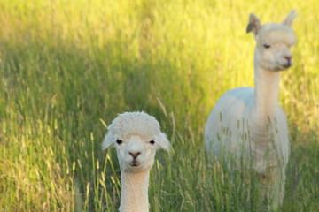 Fotorolgordijn Lama alpaca eating grass on green field