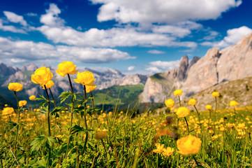 Ranuncoli della Dolomiti