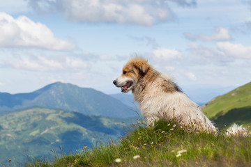 Shepherd dog in mountaind, sitting in the grass