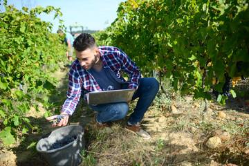 handsome man farmer in the vine, harvesting ripe grape during wine harvest season in vineyard