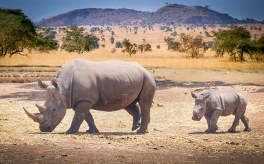 rhino baby and rhino mama roam the savannas in africa