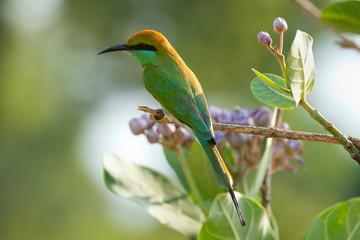 Green Bee-eater (Merops orientalis), Udawalawe National Park, Sri Lanka