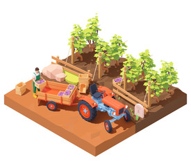 Vector isometric winemaker at winery vineyard harvest. Farmer collecting bunches of grapes into boxes for wine production. Boxes with grapes loaded on farming tractor trailer. Rows of grape bushes