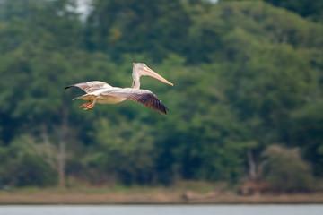 Dalmatian pelican (Pelecanus crispus) in Flight, Udawalawe National Park, Sri Lanka