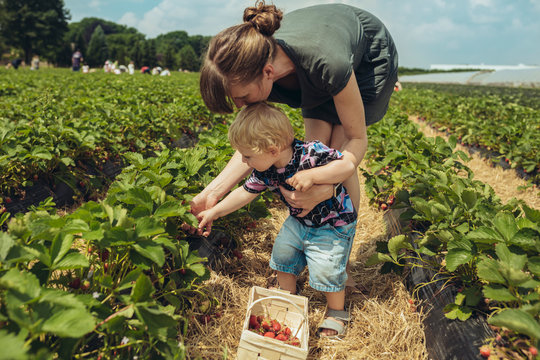 Mother and son picking strawberries in strawberry farm
