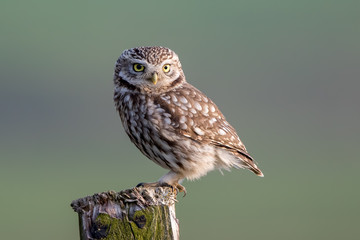 Little Owl Perched Fotomurales