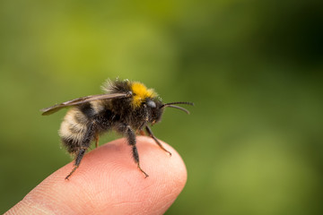 Bombus norvegicus, a species of cuckoo bumblebee, male insect sitting on a human finger