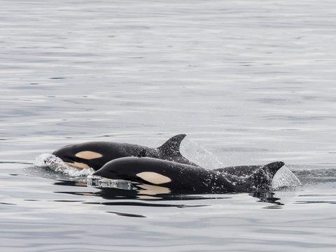 Two young killer whales (Orcinus orca), surfacing near St. Paul Island, Pribilof Islands, Alaska