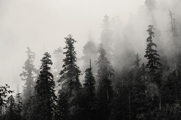 A black and white image of trees in fog, cascades, washington.