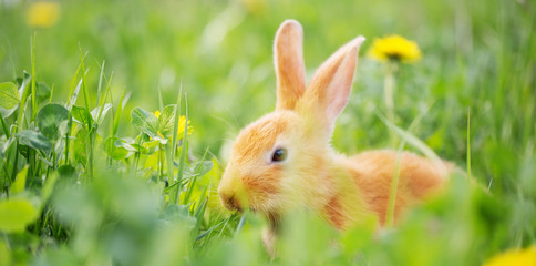 red rabbit in green spring grass Wall mural