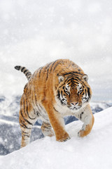 Wall Mural - Tiger in a snow on winter background