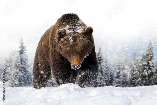 Wall mural Bear in a snow on winter background