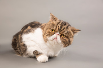 Close-up of exotic shorthair cat looking away while lying on gray background