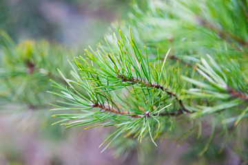 Fototapeta Świąteczna gałązka naturalna dzewa iglastego obraz
