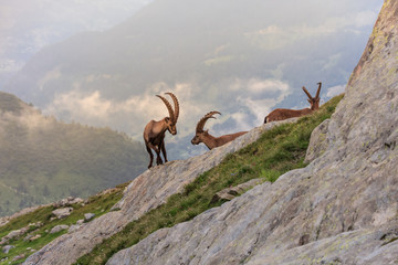 Wall Mural - Ibex , Range of Mont Blanc , French Alps