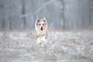 the dog runs to the camera. Active marble border collie in the snow in winter outdoors