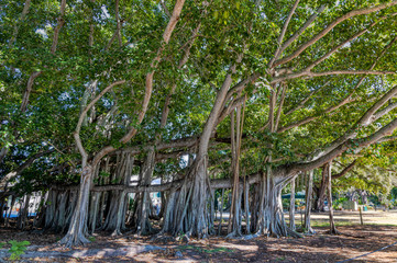 Partial View of the Third Largest Banyan Tree in the World in Fort Myers, Florida