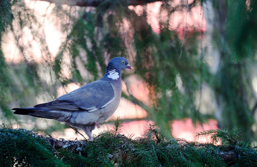 dove sits on a spruce branch