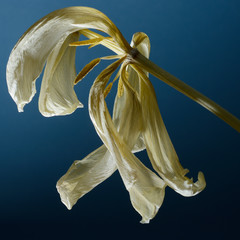 dry tulip on a blue background