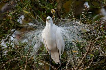 Great Egret (Ardea alba) in Breeding Plumage, Florida, USA