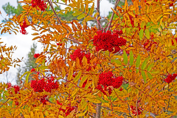 Mountain Ash Berries in the Fall