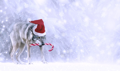 Christmas portrait of fabulous funny grinning gray wolf (canis lupus) in Santa Claus hat, candy cane lollipop in teeth on winter snow background with snowfall. Fantasy new year card with snowy forest.