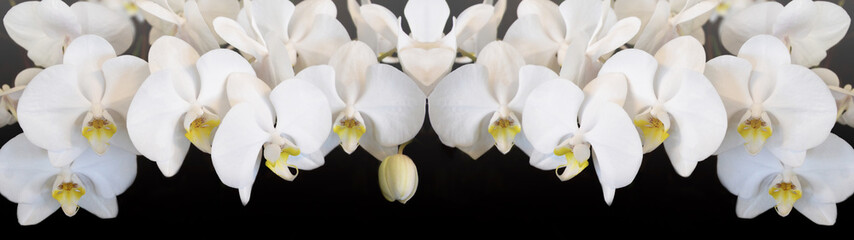 Beautiful white orchids isolated on black background panorama banner long