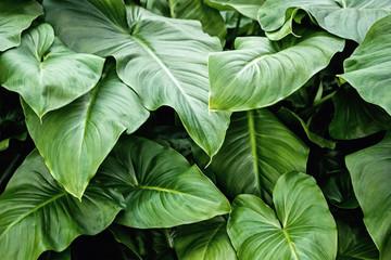 green leaf Xanthosoma(elephant ear) plant at garden