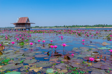 Garden Poster Lotus flower Beautiful ​​red lotus background, The sea of ​​red lotus flowers at Nong Ya Ma National Park, Kalasin Province, Thailand