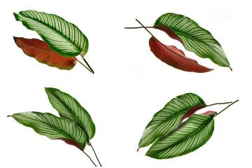 Wall Mural - Set of Calathea ornata ( Pin -Stripe calathea) leaves isolated on white