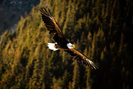 A Bald Eagle flies in Alaska.