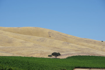 Panoramic view of an area of the central California wine country with a lush green vineyard with tree and a wide yellow dry grass hillside in the background and a clear blue sky above on a warm summer