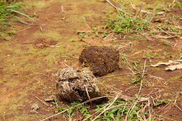 View of elephant droppings during the jungle safari in Thekkady, Kerala, India. Dried elephant poop along the wildlife trial.