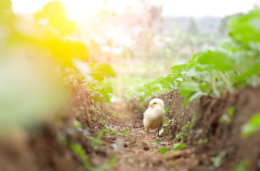 Little cute baby chicks between the leaves, playing in nature with light beam, yellow newborn baby chicks, selective focus