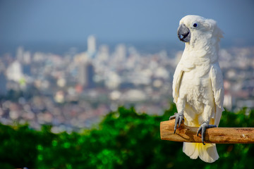 Foto op Aluminium Papegaai The white parrot is pets in town.