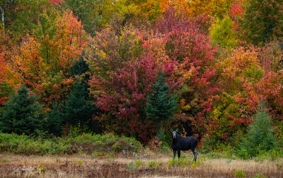 A Moose in Front of Beautiful Fall Colors
