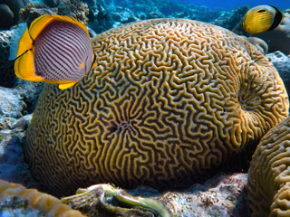 Fototapete - Close up of Grooved brain coral labyrinth