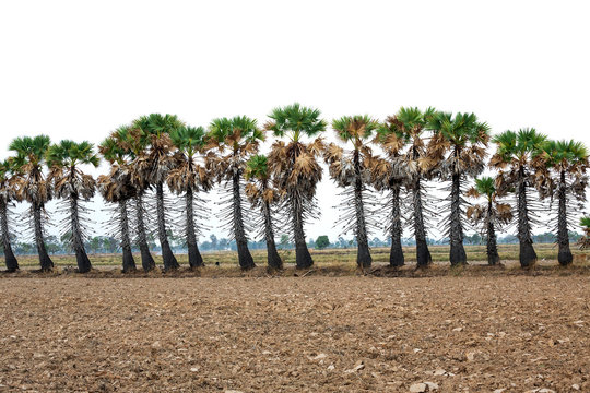 A row of Palmyra palm in the rice field.