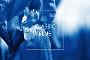 Iris flower toned in trendy pantone Classic Blue color of the Year 2020. - Image