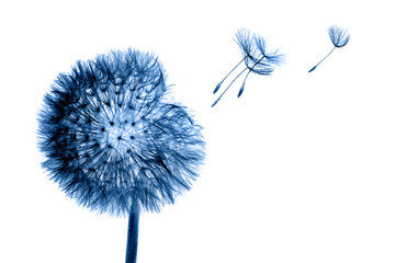 White bloom head Dandelion flower with flying seedstoning in classic blue color. Trendy creative design in color of 2020.
