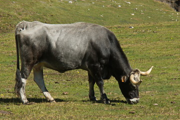 Cattle in national park Picos de Europa in Cantabria,Spain,Europe