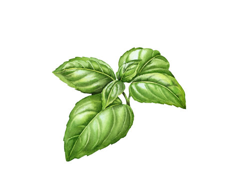 Watercolor basil branch with realistic leaves. Hand drawn botanical illustration isolated on white. Spices herbs element for food recipes, labels, banners